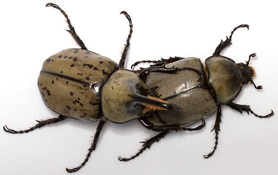 Male and female, Grant's Hercules Beetle - Dynastes grantii - male - female