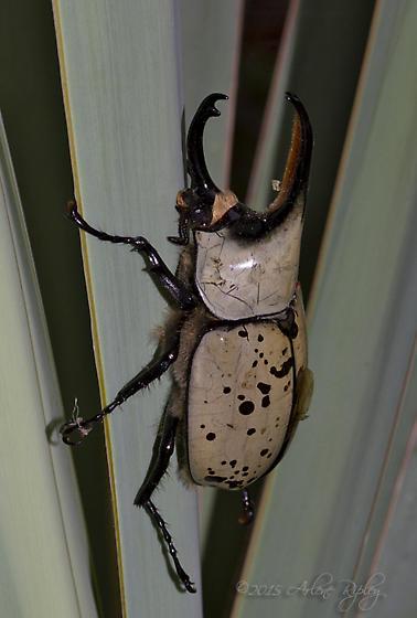 Grant's Hercules Beetle - Dynastes grantii - male