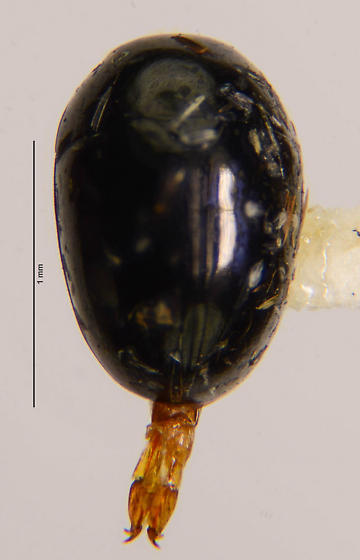 Phalacridae? - Phalacrus - female