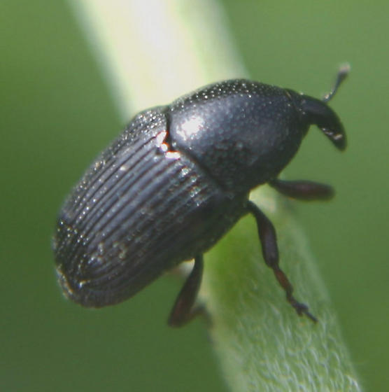 Yet another small black beetle.... - Baris