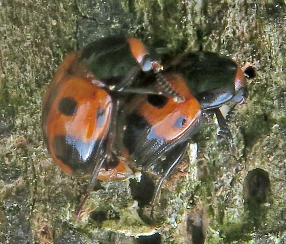 Diaperis maculata - male - female