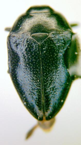 Pachyschelus nicolayi Obenberger - Pachyschelus nicolayi - male