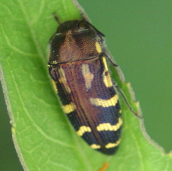 Metalic wood boring beetle? - Acmaeodera pulchella