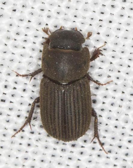 Very small Scarab?  - Ataenius imbricatus