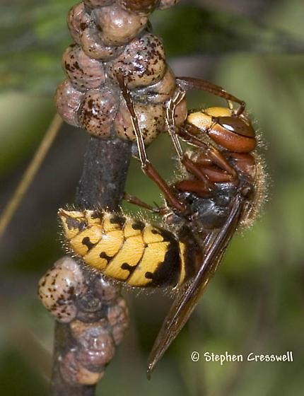 Hornet Adventure - Vespa crabro