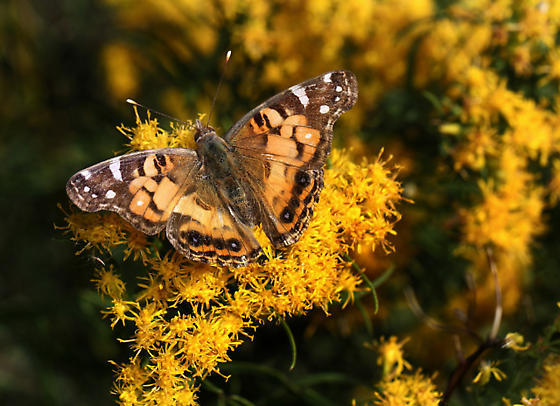 ID Needed for Butterfly - Vanessa virginiensis