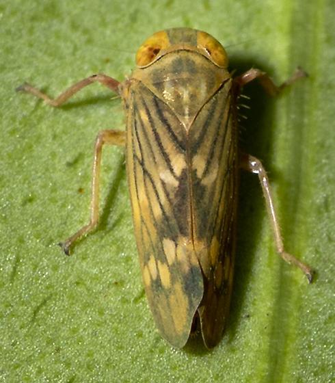 Cicadellid ID request - Jikradia olitoria