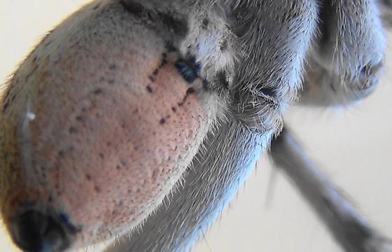 Night Stalker (ventral abdomen) - Hogna carolinensis - male
