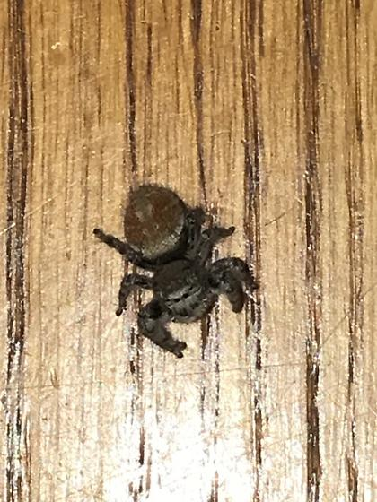Jumping spider in Southern California? - Phidippus