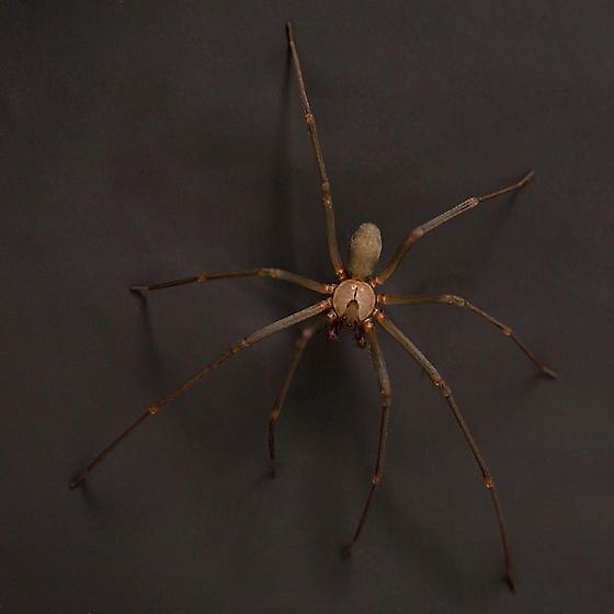 Brown Recluse Spider - Loxosceles reclusa - male