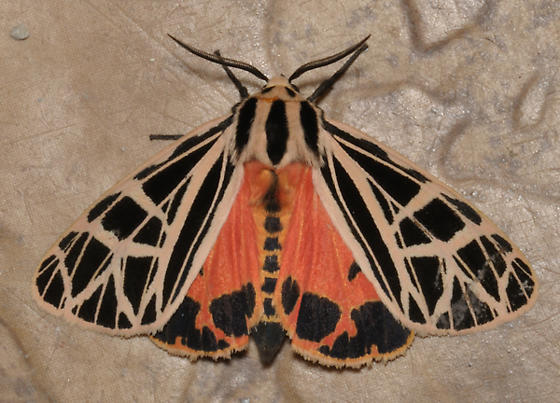 Unknown tiger moth - Apantesis parthenice