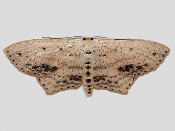 Frosted Tan Wave Moth - Hodges#7157 - Scopula cacuminaria