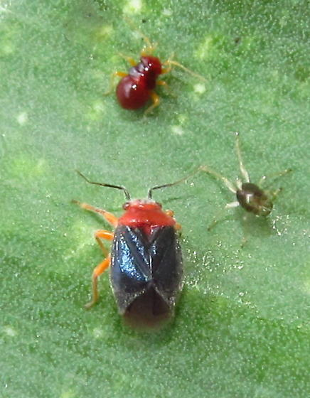 Yucca plant bugs - Halticotoma valida