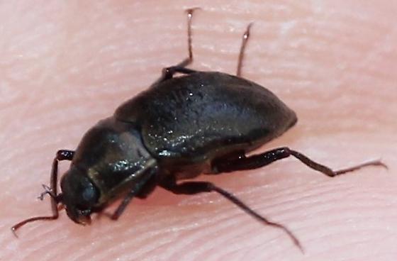 Elmidae - Helichus