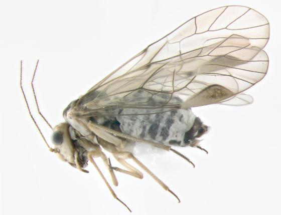 Psocidae, Common Barklice, lateral - Blastopsocus lithinus - female