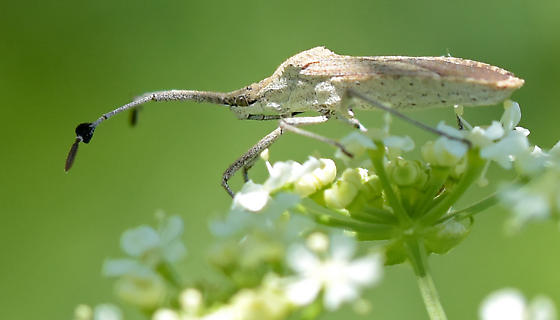 bug with hearts on antennae - Chariesterus antennator