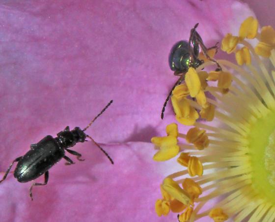 Flea Beetle - Pseudoluperus