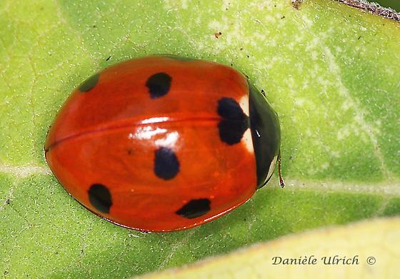 Coccinelloidea - Coccinella septempunctata