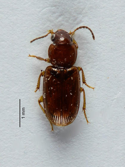 Another small carabid...