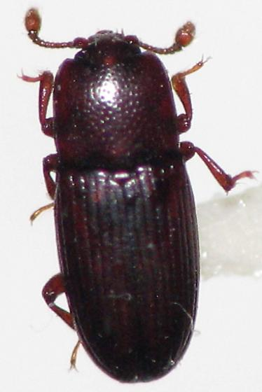 Believe this is a cerylonidae - Cerylon unicolor