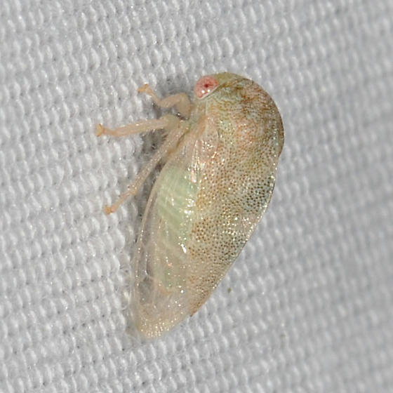 Tree Hopper - Cyrtolobus inermis