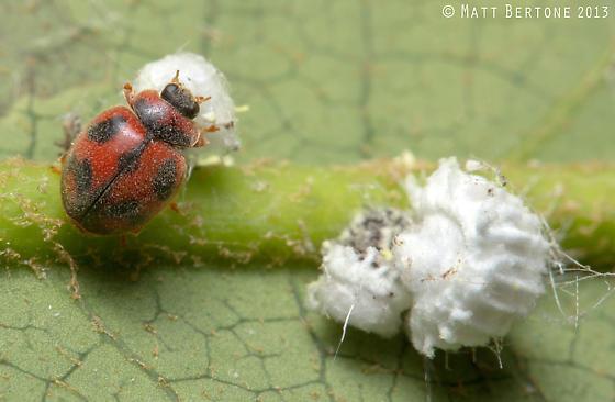 vedalia beetle - Rodolia cardinalis