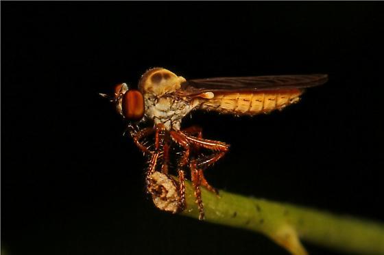 small Robber Fly - Holcocephala? - Holcocephala abdominalis