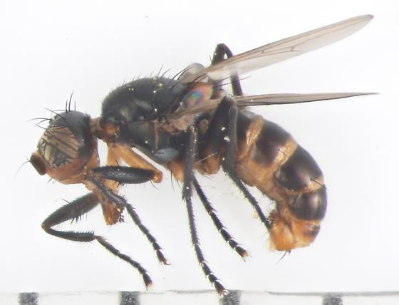 Sepsidae, Black Scavenger Fly, lateral - Saltella sphondylii - male