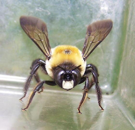 Xylocopa virginica - male