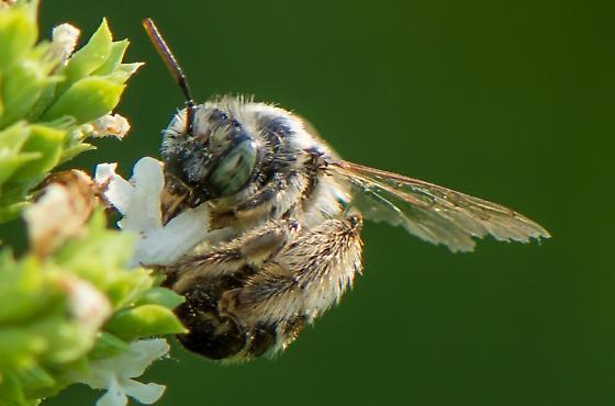 Mining Bee? - Melissodes