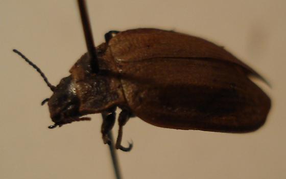 no idea what this one is - Amphizoa lecontei