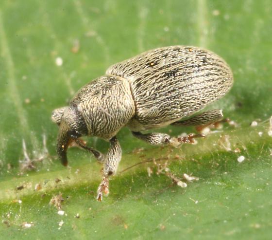 weevil - Tychius stephensi