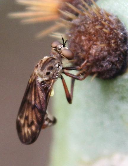 fly ? brown eyes, short antennae - Cophura bella