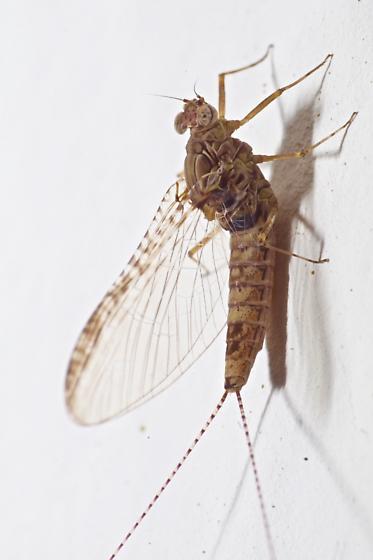 Stationary mayfly - Callibaetis pictus