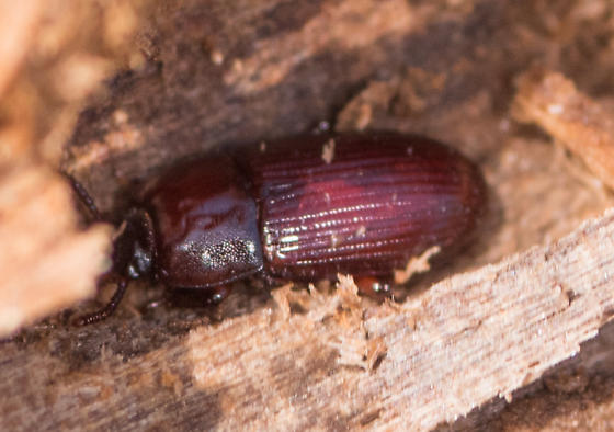 Beetle for ID - Uloma impressa