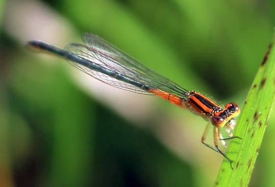 Ischnura verticalis - female
