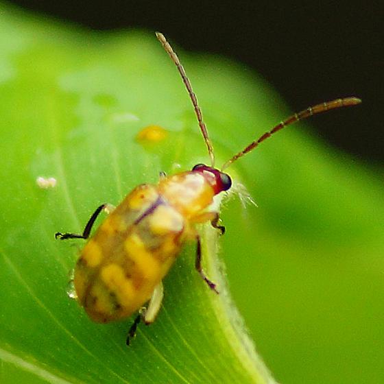 Texas Beetle ID Please - Diabrotica balteata? - Diabrotica balteata