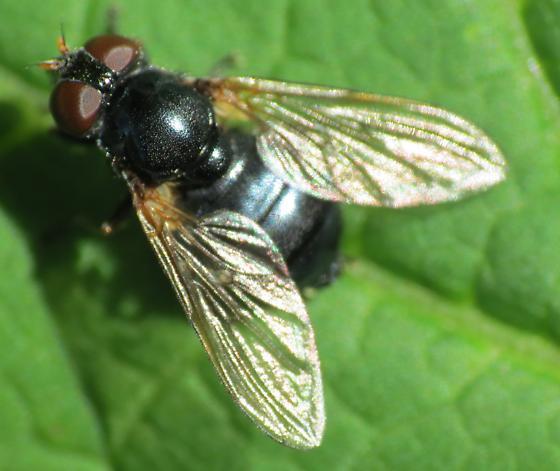 Beacon Rock Fly 3 - Blera nigra - female