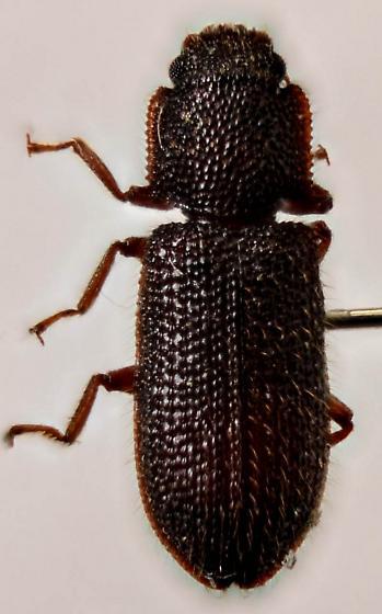 Beetle unk. - Endeitoma granulata