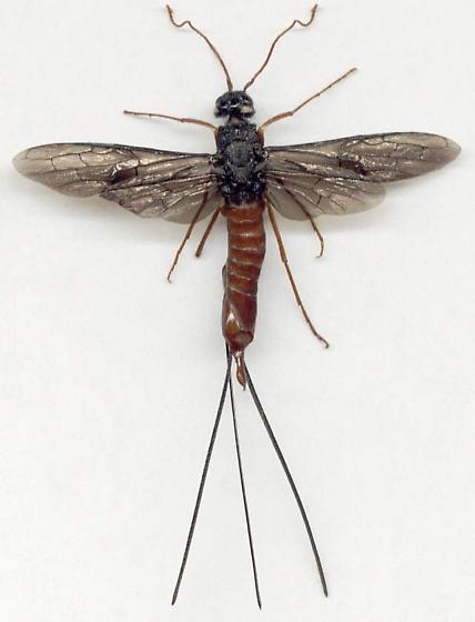 Xeris morrisoni indecisus - Xeris indecisus - female