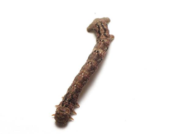 Geometridae? - Hypagyrtis unipunctata