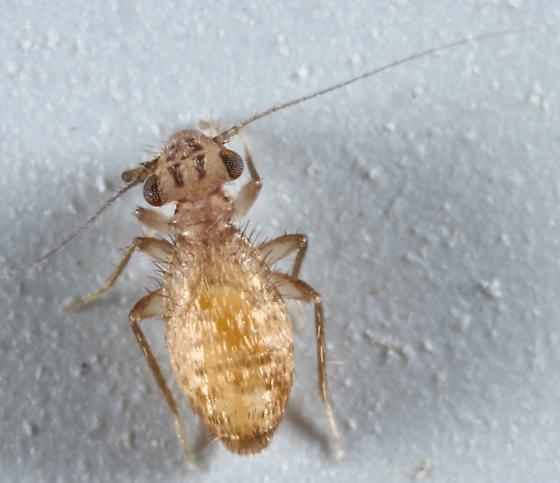 Barklouse - Neolepolepis occidentalis