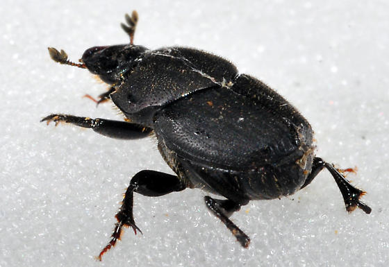 Missing Tarsi - Onthophagus hecate