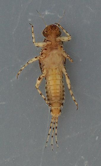 Serratella micheneri - voucher specimen, in alcohol - Serratella micheneri - male