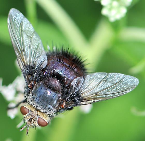 Tachinid Fly (Juriniopsis adusta) - Juriniopsis adusta