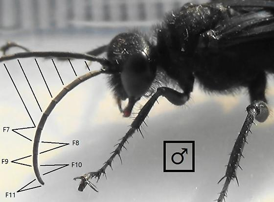 Thread-waisted Wasp Segmented (flagellomeres) - Prionyx - male