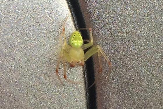 Green Spider?? - Araneus cingulatus