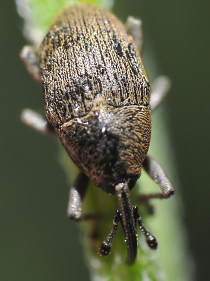 Flower weevil - Geraeus picumnus - male