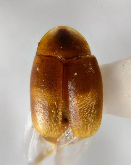 Lighter Clypastraea?  - Clypastraea fasciata