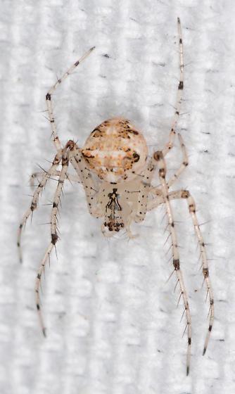 Mimetidae - Mimetus